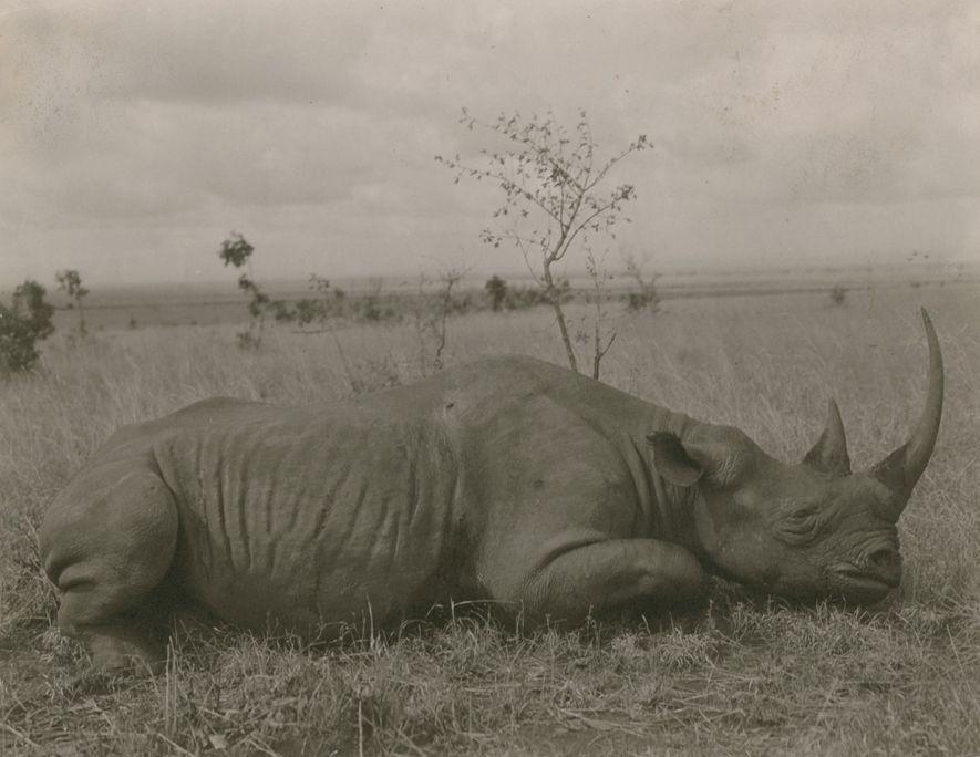 CAÇADO – Foto de uma reportagem de 1909 da revista National Geographicsobre o lugar onde Theodore ...