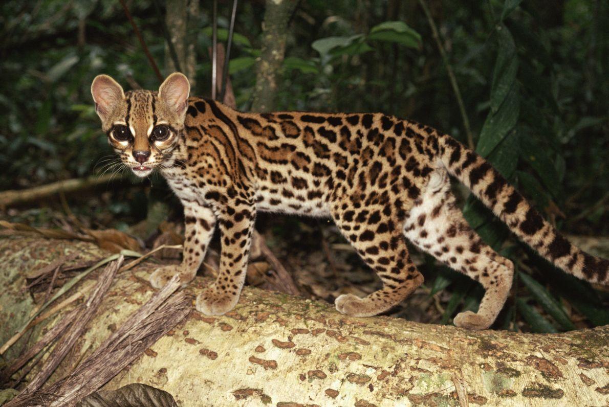 Ogato-maracajá(Leopardus wiedii), ou simplesmente maracajá, mostra seus olhos enormes em uma ronda pela floresta em Gamboa, ...