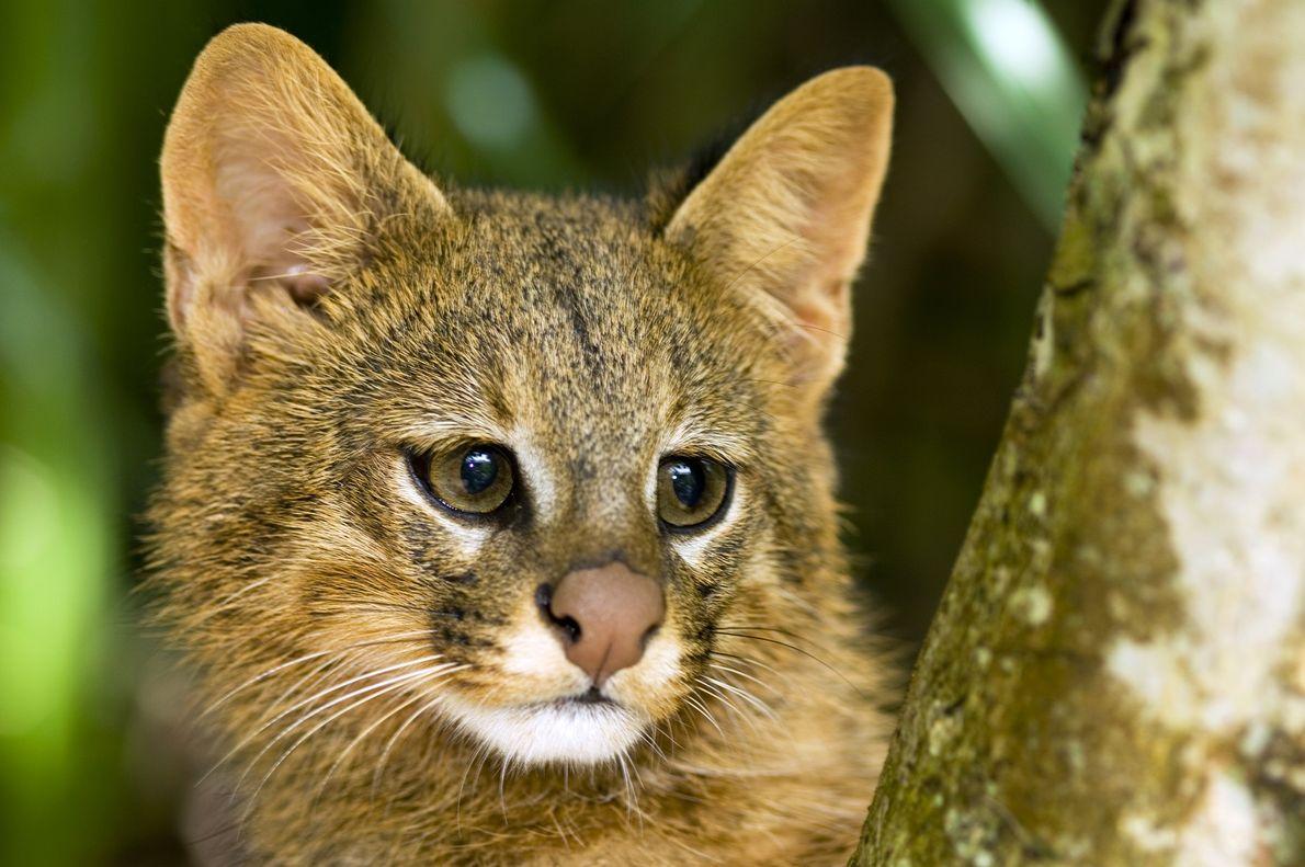 """Umgato-palheiro(Leopardus colocolo) espia por trás de um galho no cerrado brasileiro, em 2008.  Listados como """"quase ameaçados"""" ..."""