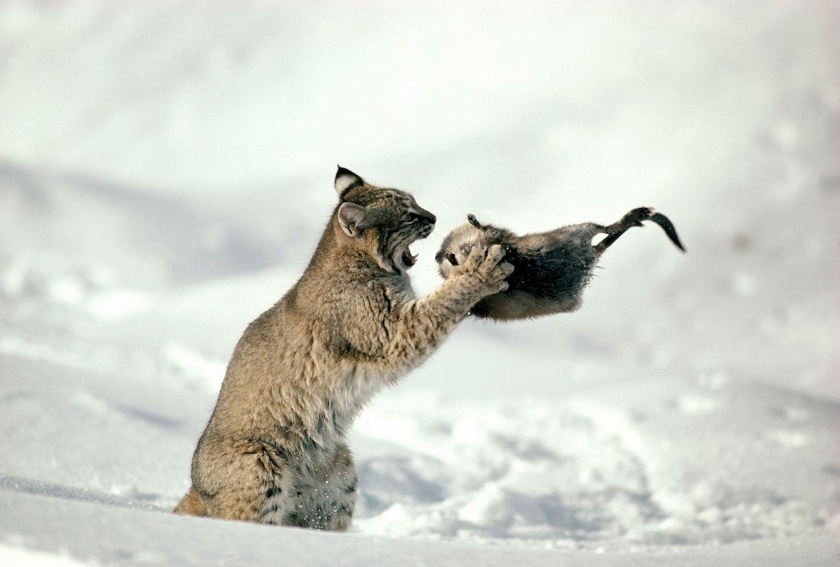 Em uma foto tirada em 1997, umlince(Lynx rufus) se prepara para devorar um rato-almiscarado em Idaho.O ...