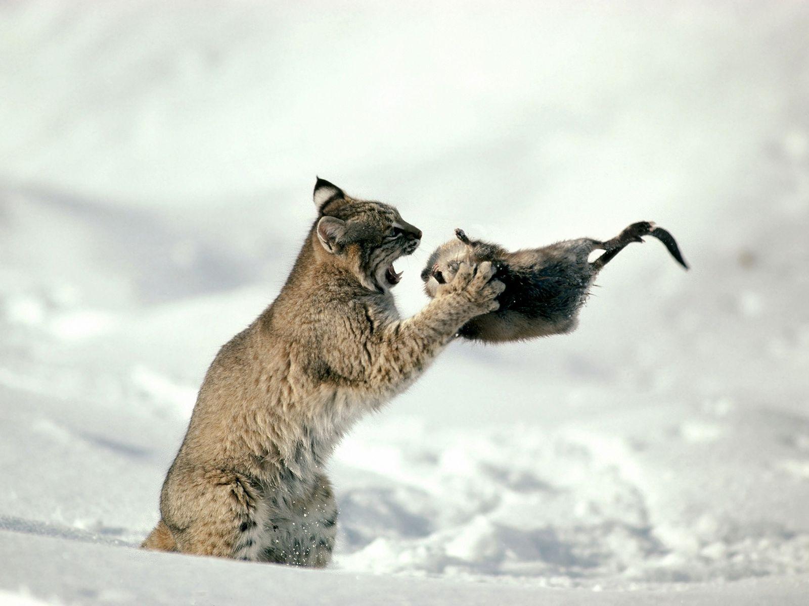 Em uma foto tirada em 1997, um lince (Lynx rufus) se prepara para devorar um rato-almiscarado em Idaho. O ...