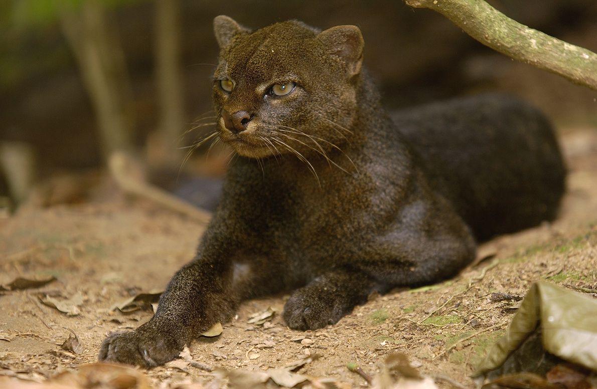 As orelhas arredondadas dogato-mourisco são bastante distintas das dos demais felinos, mas seu ar presunçoso é ...