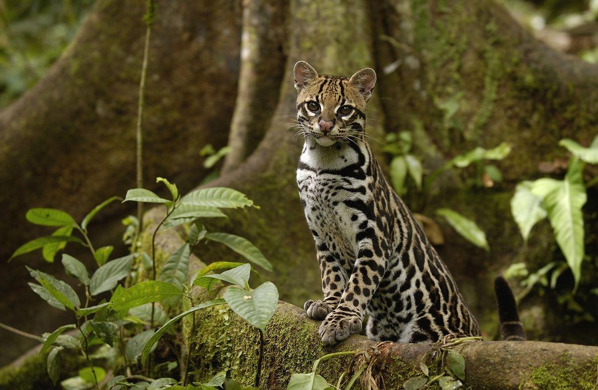 Umajaguatirica(Leopardus pardalis) faz pose sobre a raiz de uma árvore na floresta amazônica do Equador em ...