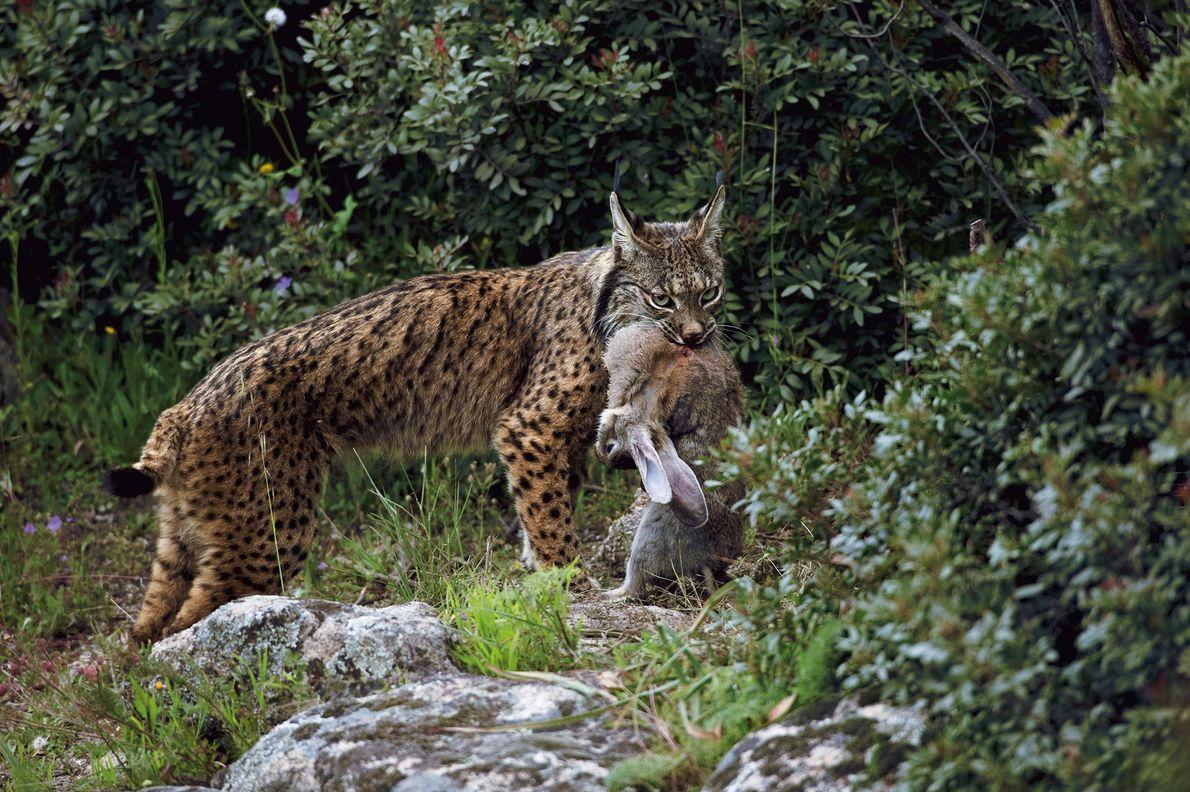 Olince-ibérico(Lynx pardinus) talvez seja o felino selvagem mais ameaçado de extinção do mundo.  Encontrado apenas em Portugal ...