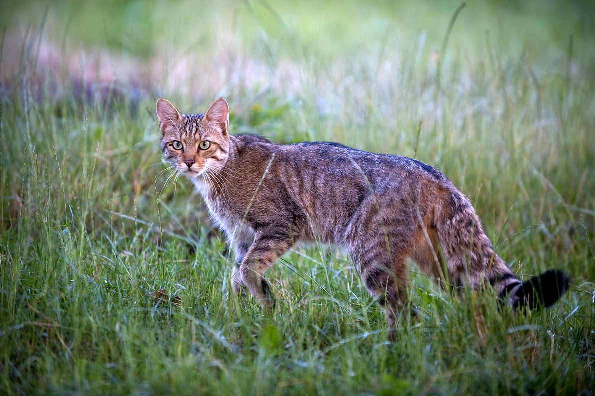 Umgato-selvagem-europeu (Felis silvestris) faz uma pausa em um campo gramado na Moldávia em 2009.  Esses felinos, conhecidos ...