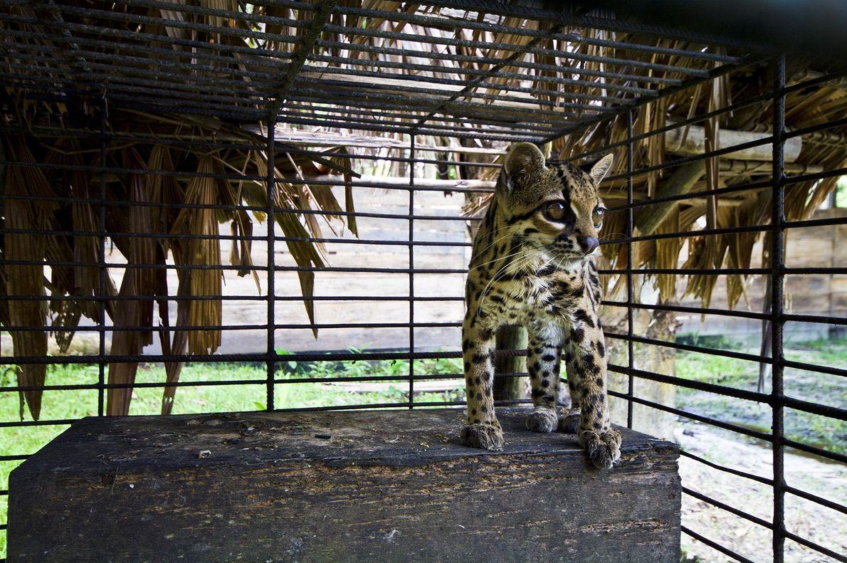 Estegato-do-mato (Leopardus tigrinus), também conhecido como gato-macambira e pintadinho, observa o mundo de dentro de uma ...