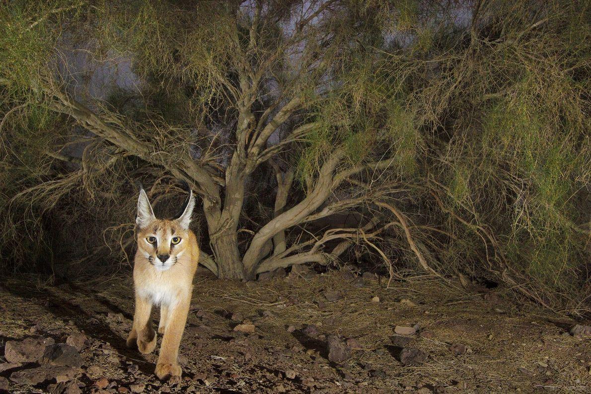 O fotógrafo Frans Lanting conseguiu fotografar estecaracal(Caracal caracal) com uma armadilha fotográfica no Parque Nacional Kavir, ...