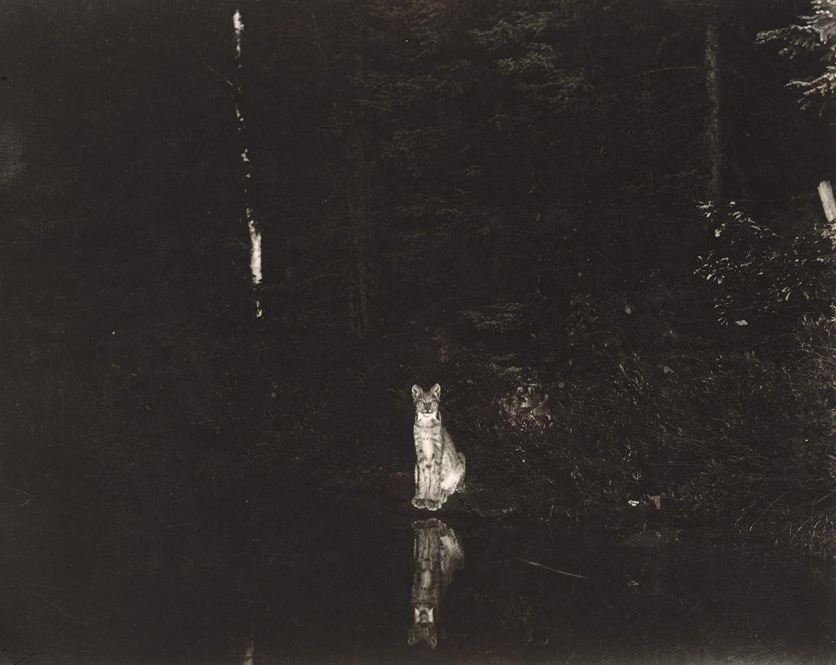 A imagem noturna de umlince-do-canadá (Lynx canadensis) sentado graciosamente à margem do lago Loon, em Ontário, ...