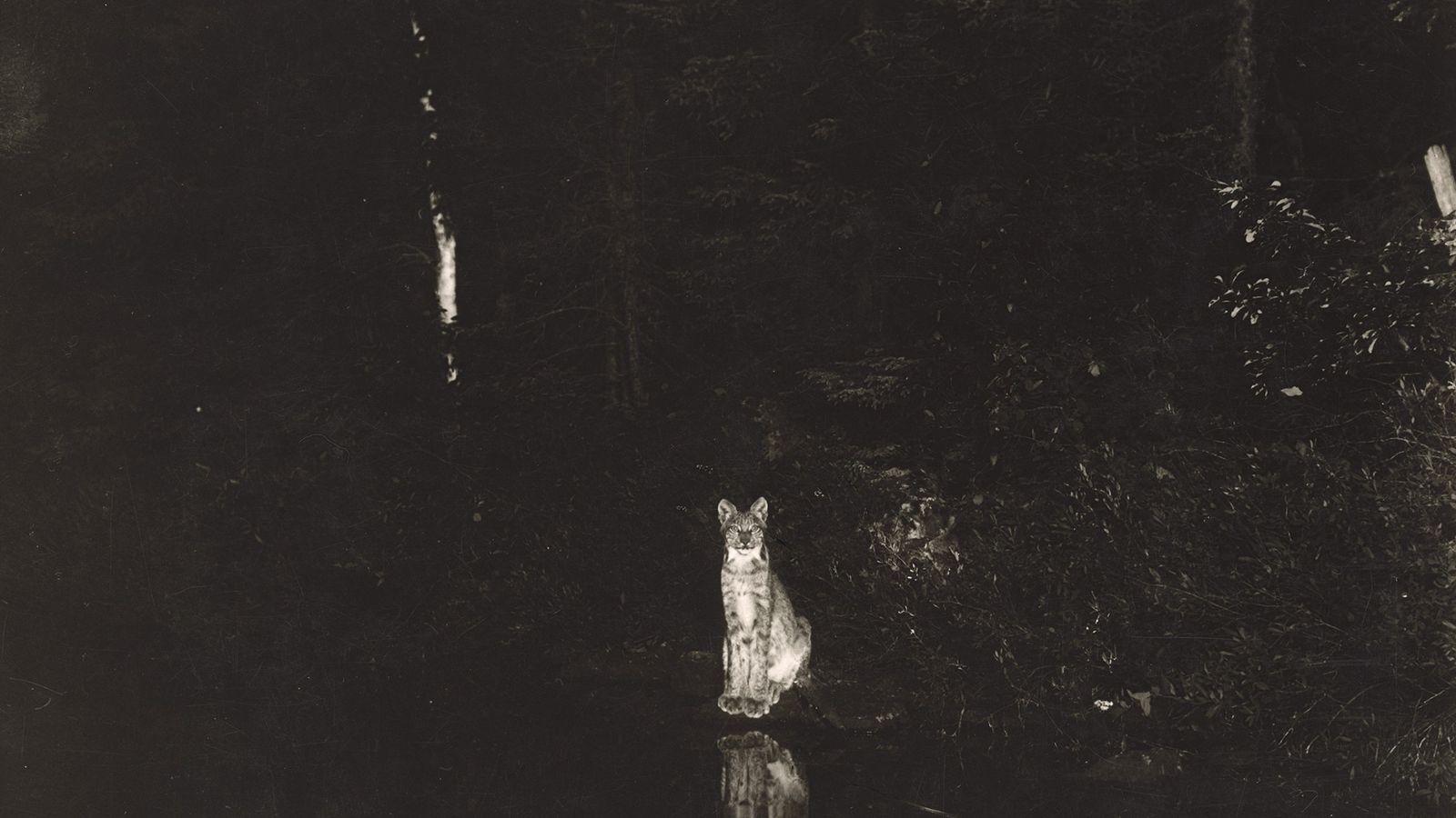 A imagem noturna de um lince-do-canadá  (Lynx canadensis) sentado graciosamente à margem do lago Loon, em Ontário, ...