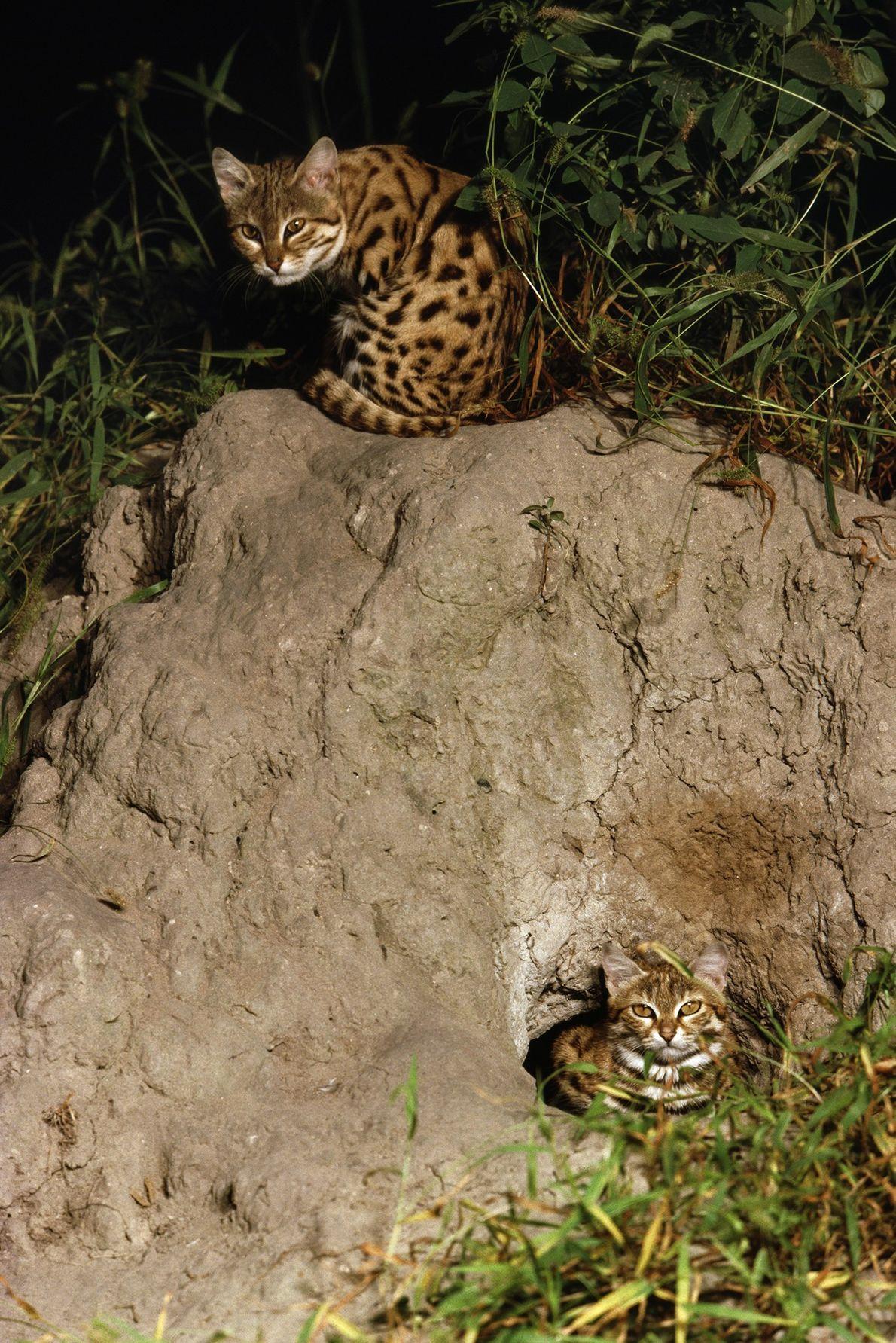 Gatos-bravos-de-patas-negras(Felis nigripes) escondidos em sua toca no Delta do Okavango, em Botsuana, em uma imagem de ...