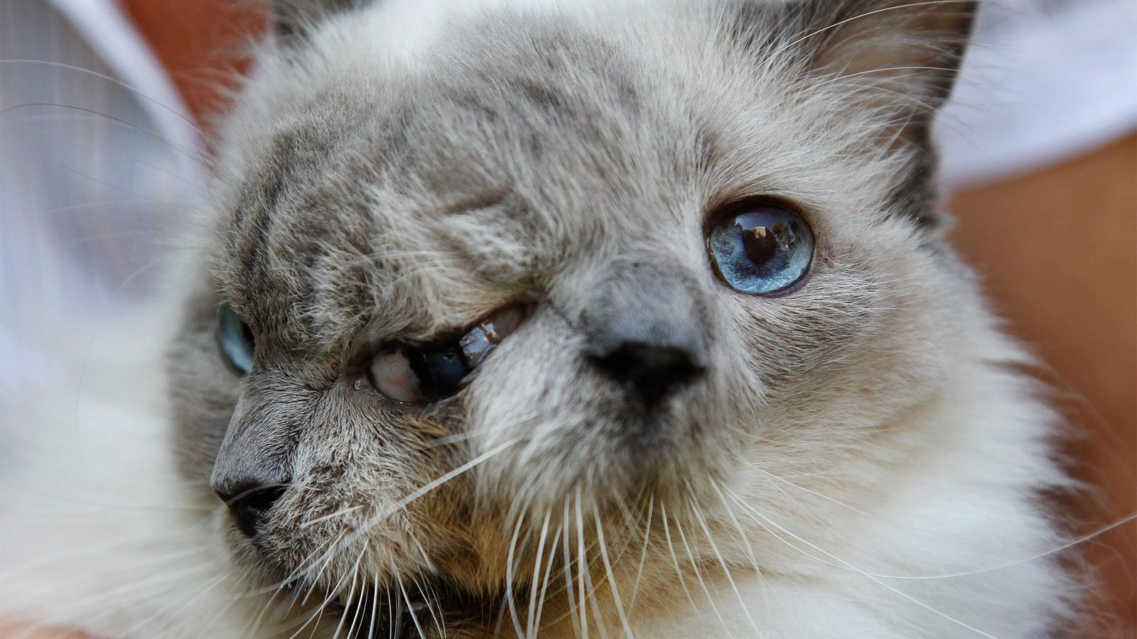 gato com duas caras