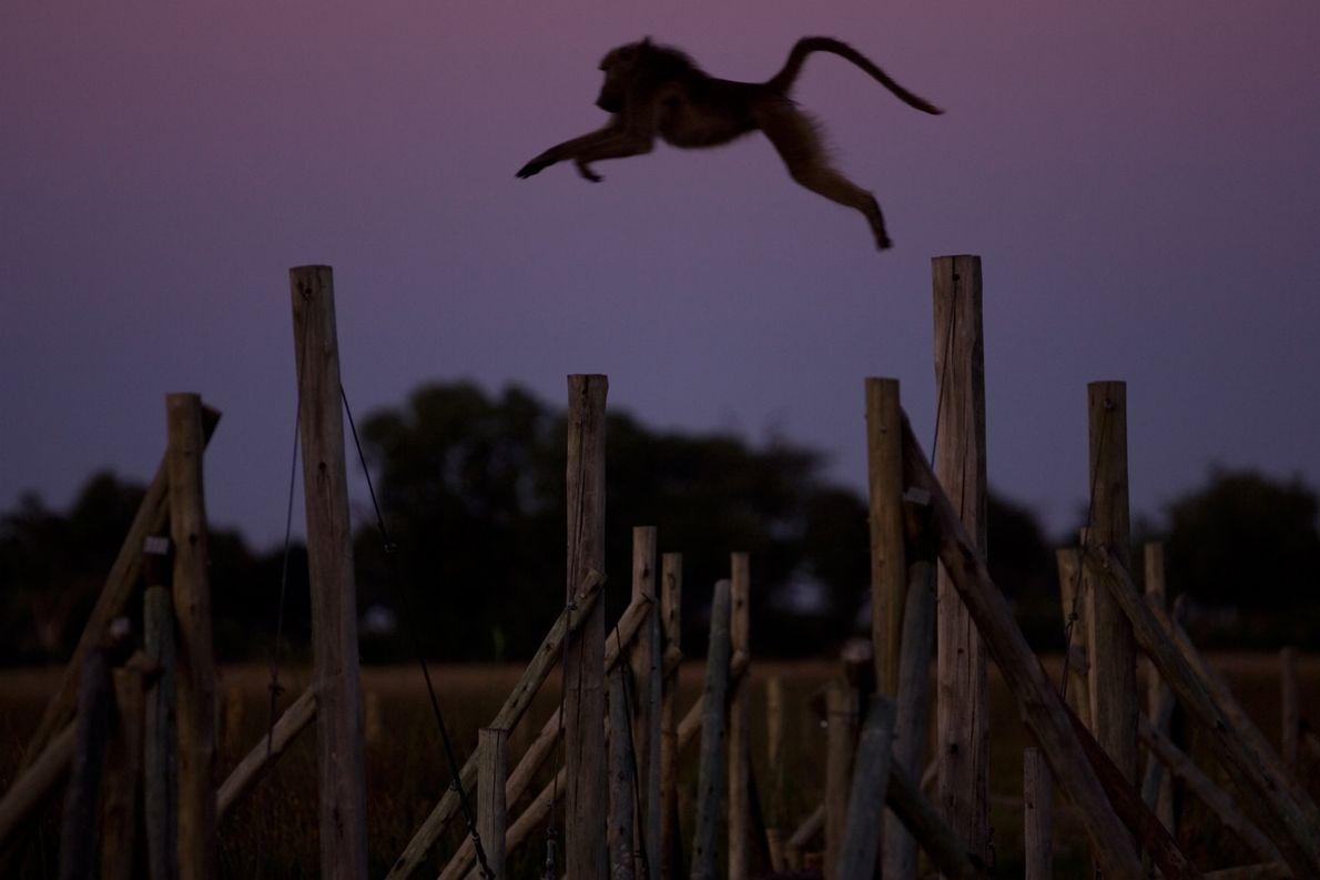 Babuíno dá um longo salto enquanto a escuridão cai em Duba Plains, um acampamento de safari ...