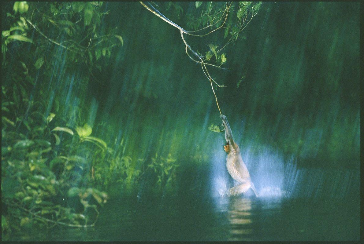 No meio das selvas malaias de Bornéu, macaco-narigudo pula na água depois de se balançar nos ...