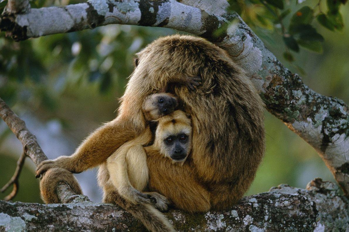 Dois jovens bugios espiam do colo da mãe no Pantanal, Brasil.