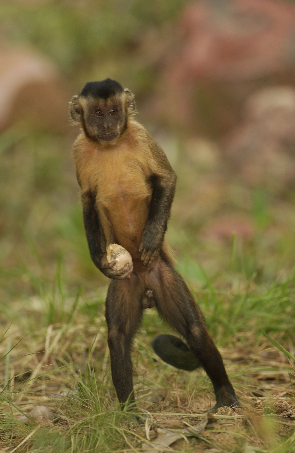 Macaco-prego carrega semente enquanto procura uma pedra para poder abri-la.