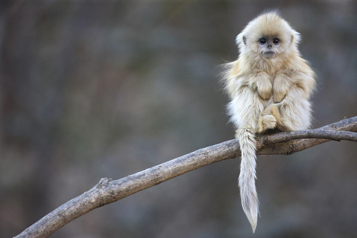 Macaco-dourado em floresta montanhosa na Reserva Natural Nacional Zhouzhi, na China.