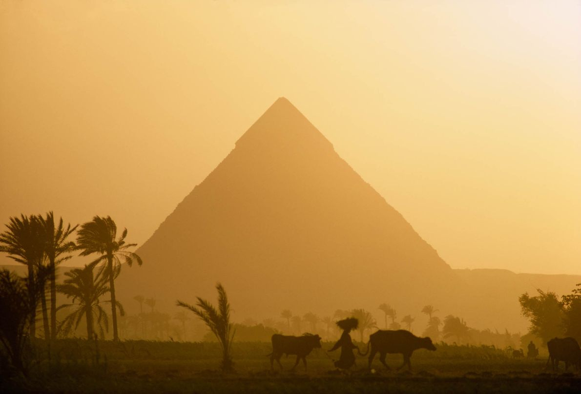 A shepherd and his cattle walk past Egypt's Great Pyramids of Giza.
