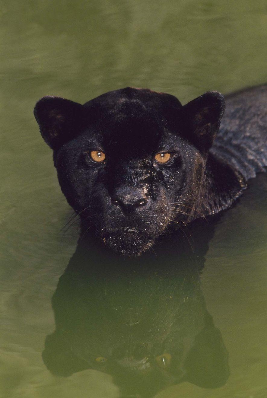 Onça-pintada preta em um lago no Brasil. As onças pretas também são conhecidas como panteras negras, um termo guarda-chuva para qualquer grande felino com coloração preta.