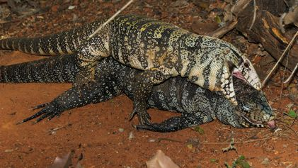 Noiva cadáver: conheça um lagarto necrófilo brasileiro