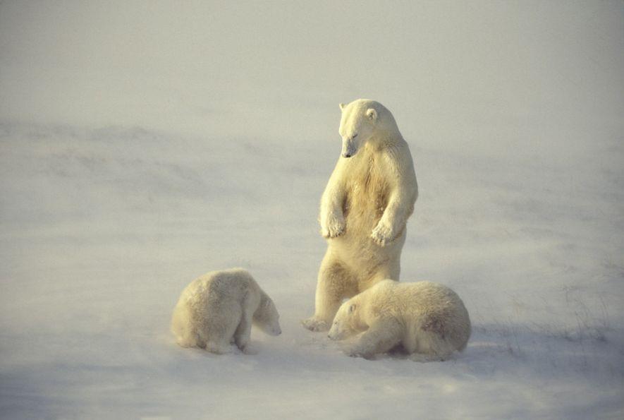 Um urso-polar observa seus filhotes na Baía de Hudson em Manitoba, Canadá. A baía é famosa ...