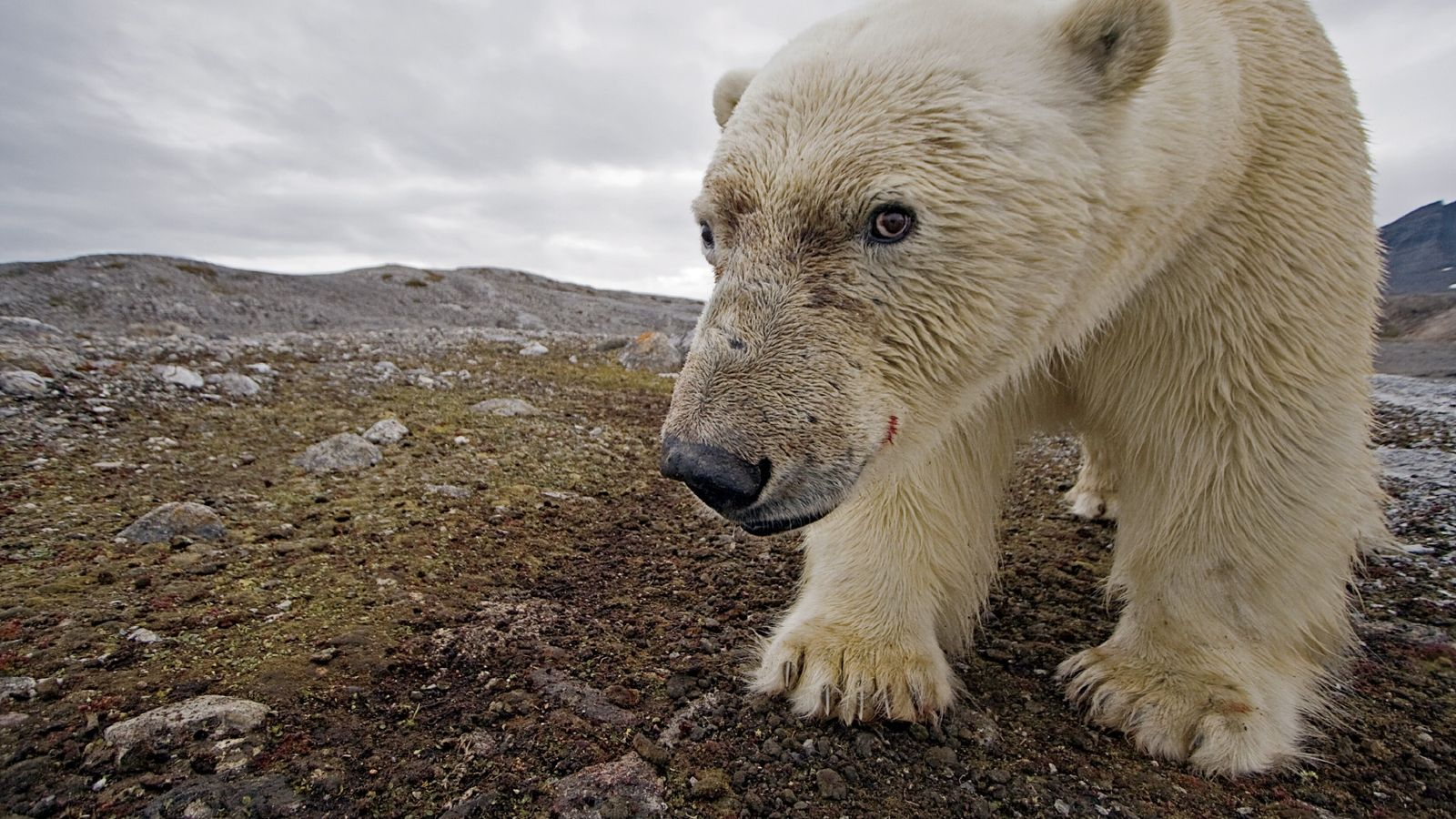 Fotos revelam a vida cotidiana de ursos-polares