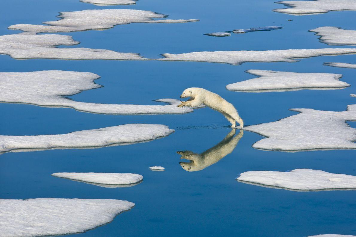 urso-polar saltando