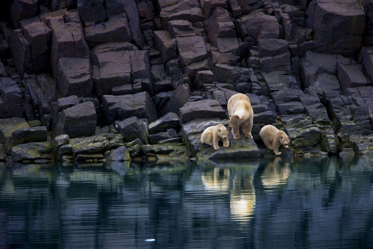 urso-polar com filhotes em litoral sem gelo