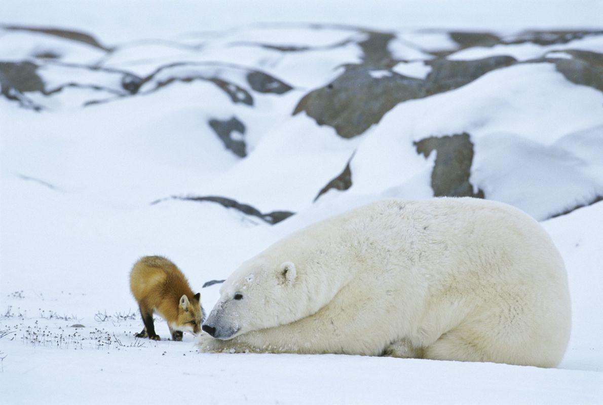 urso-polar e raposa-vermelha