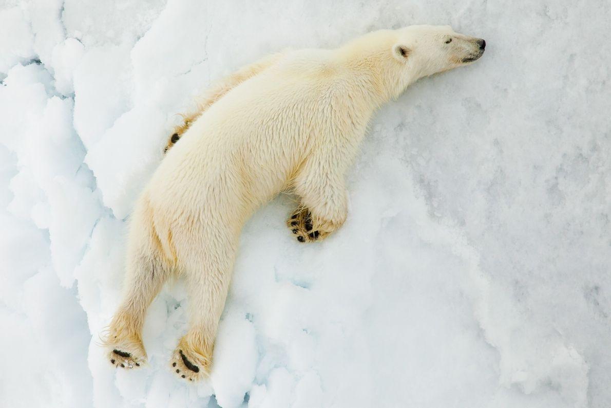 urso polar dormindo