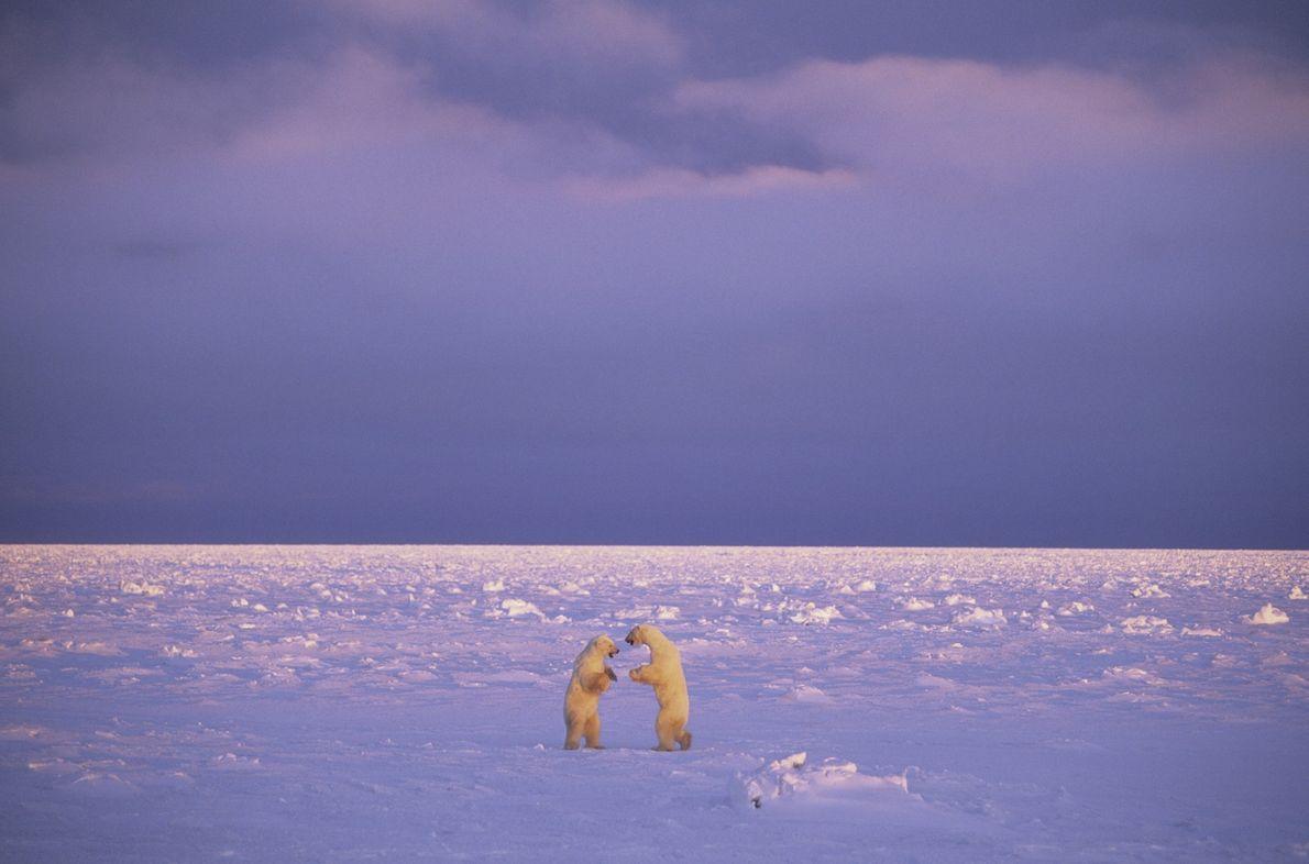 briga entre ursos polares