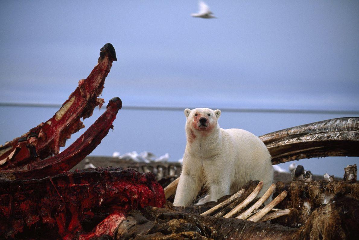 urso sobre carcaça de baleia