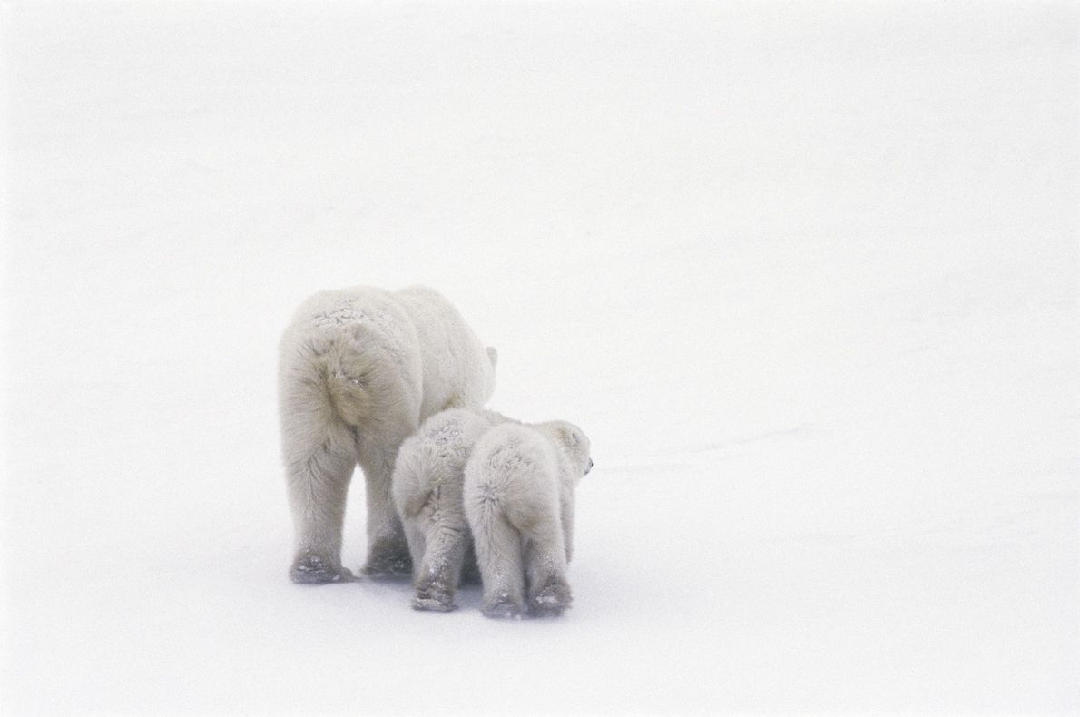 urso polar costas fotografia