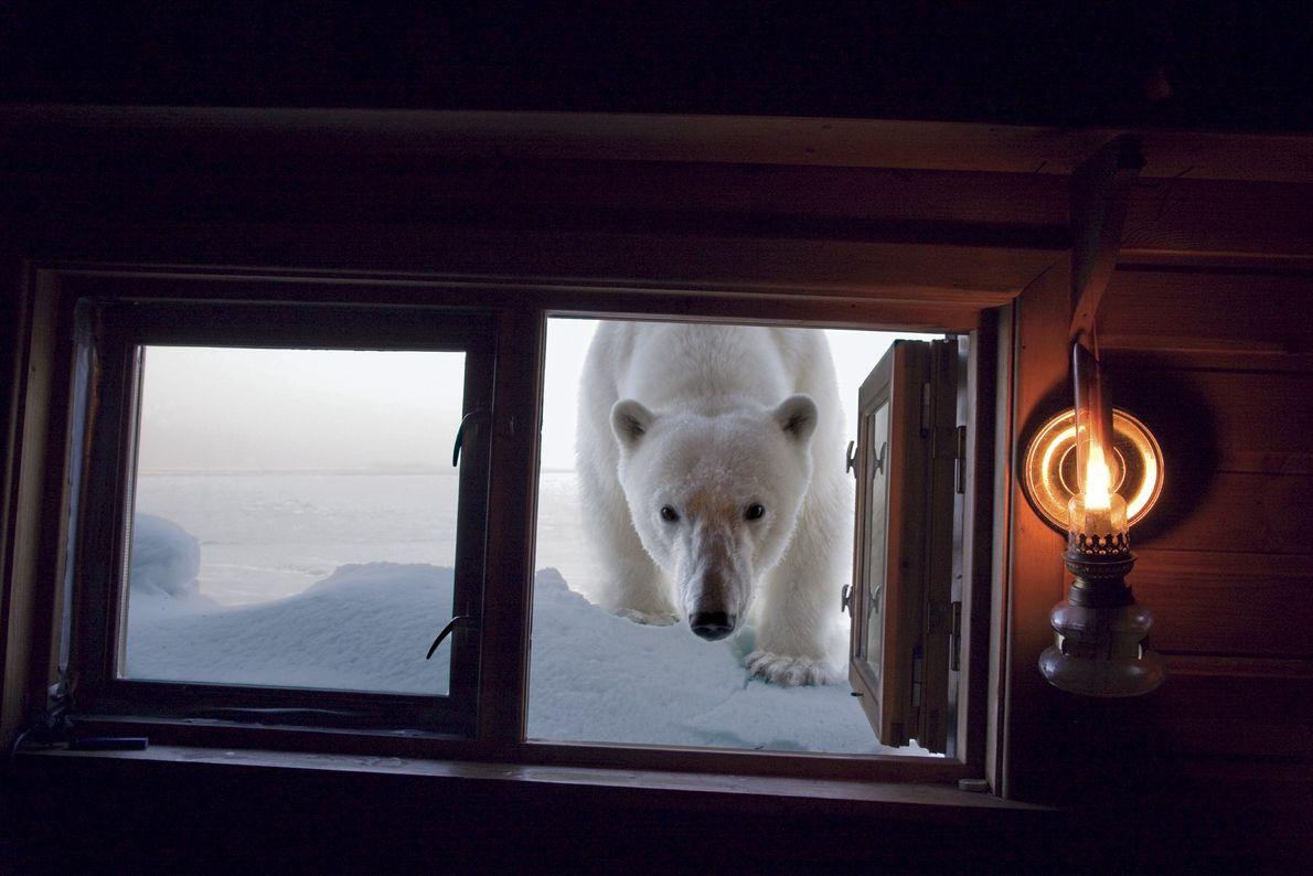 Urso polar curioso em cabine de fotógrafo