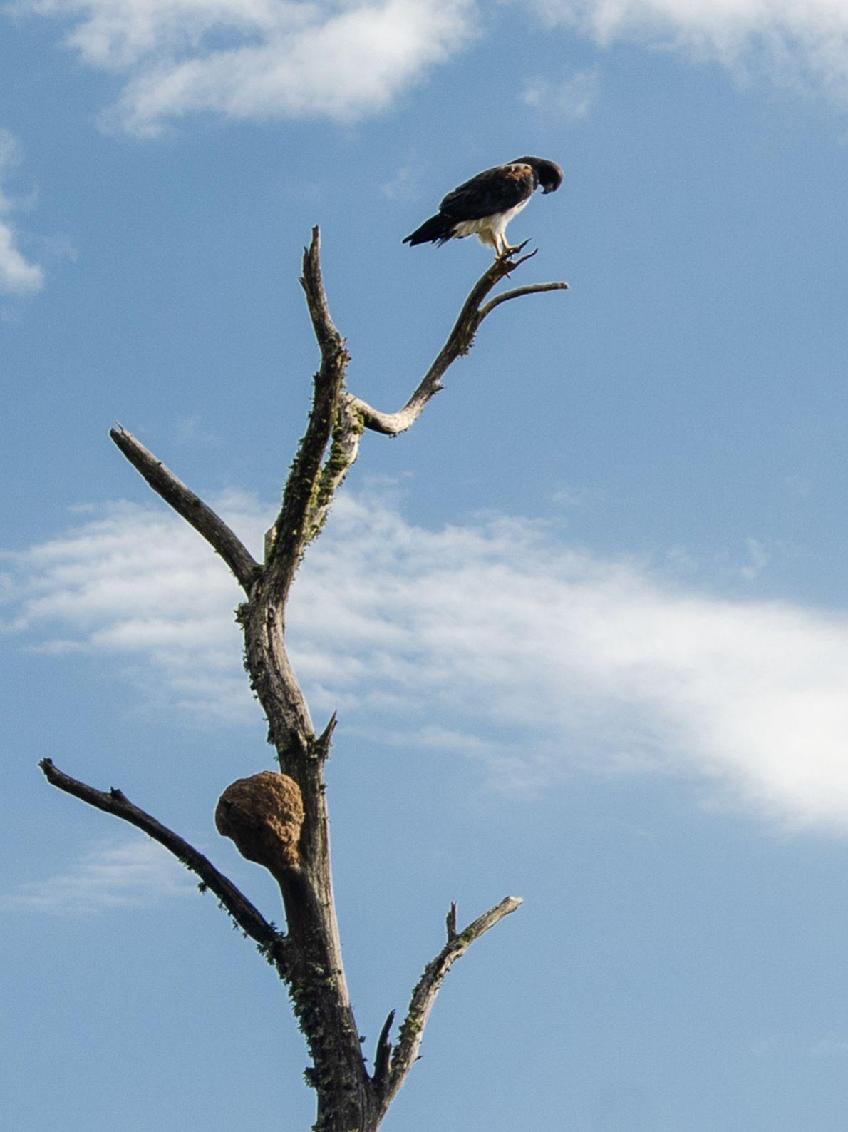 Gavião solitário espera momento de sair à caça. Cerca de 500 espécies de aves vivem no ...