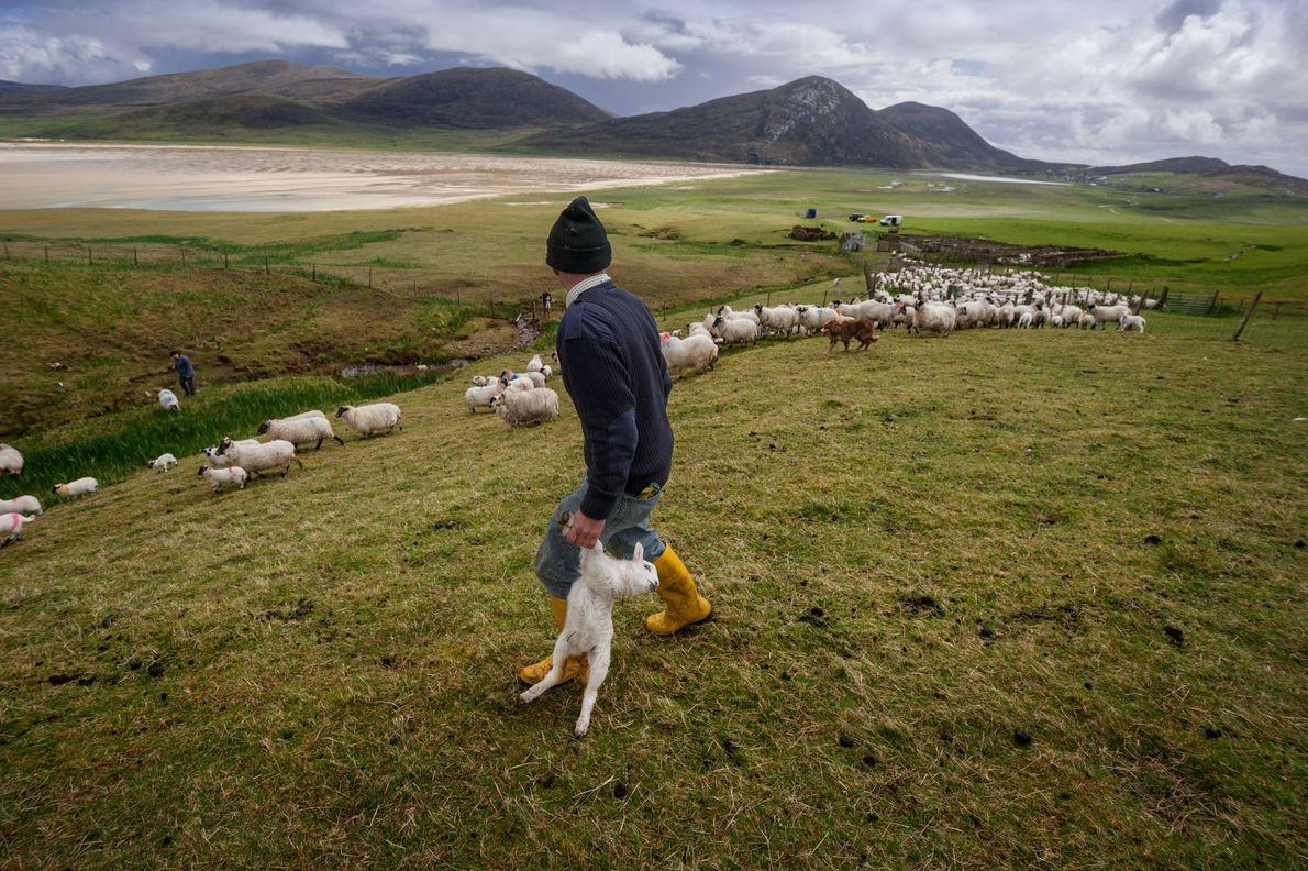 charnecas-escocesas-ovelhas-conservação-terras-altas.