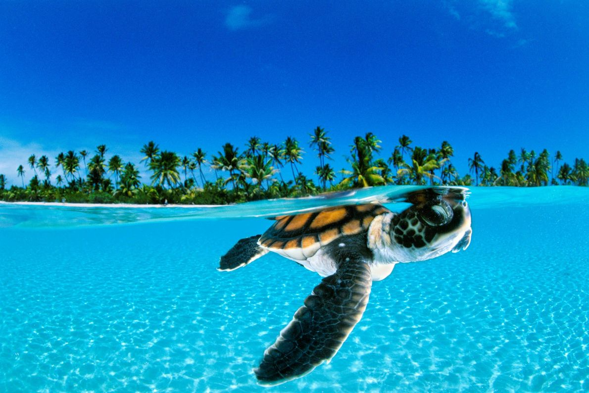 A baby green sea turtle swims in the French Polynesian tropical paradise.