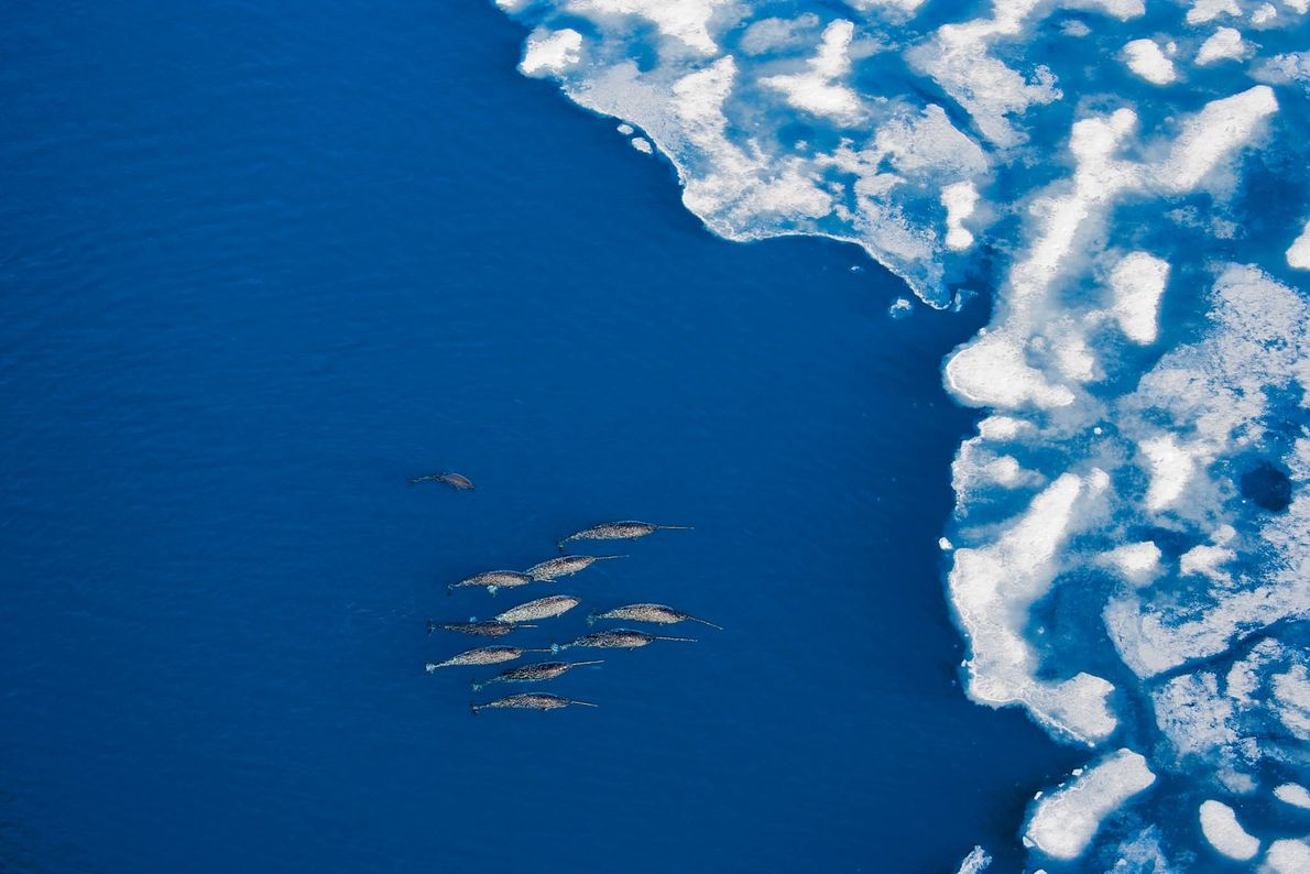 Canadian narwhals approach breaking ice in the Arctic Bay.