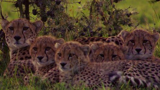 #DiadoGuepardo: Aprendendo a caçar