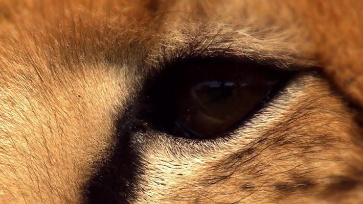 A Vida Secreta dos Predadores: Guepardos