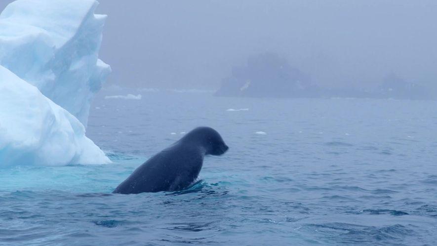 Assista a focas-leopardo brincarem e caçarem na Antártica