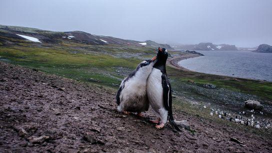 Um filhote de pinguim-gentoo (Pygoscelis papua) faz carinho na mãe após ser alimentado.