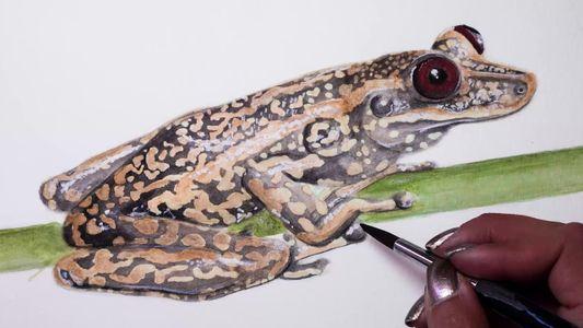 Esta perereca brasileira, ilustrada em velocidade aumentada, está ameaçada de extinção