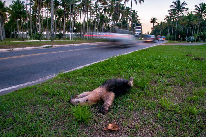 Tamanduá-mirim atropelado e removido para a margem da estrada no município de Aracruz (ES).
