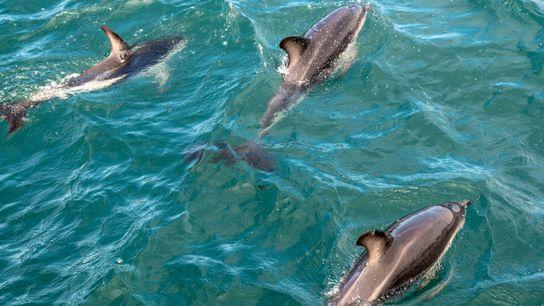 Golfinhos se divertem nas águas de Kaikoura, Nova Zelândia.