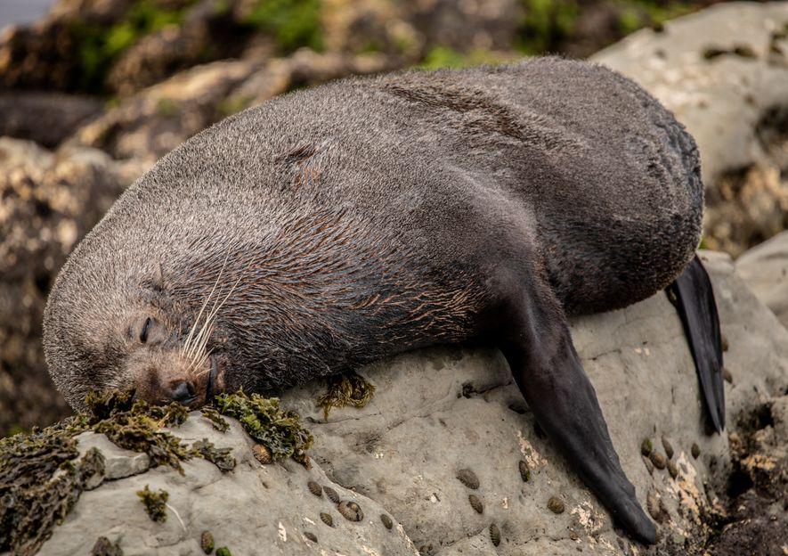 Uma foca descansa na praia. A vida marinha é fácil de ser vista ao longo da ...