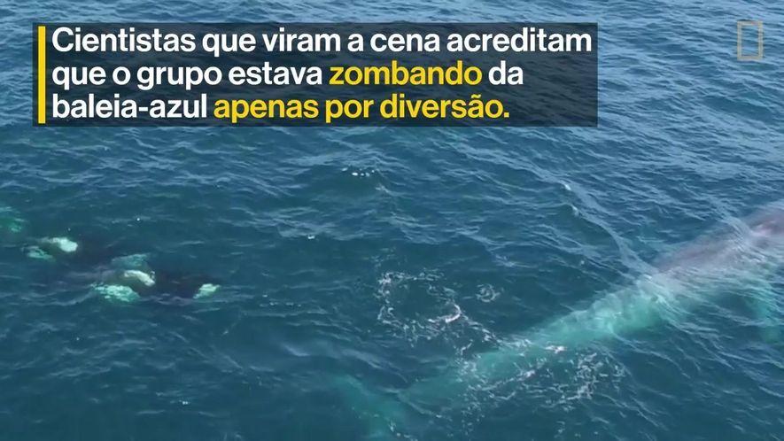 Grupo de orcas faz bullying em uma baleia-azul