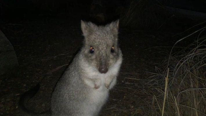"""Conheça o """"minicanguru"""" Brian,  um dos muitos marsupiais desconhecidos"""