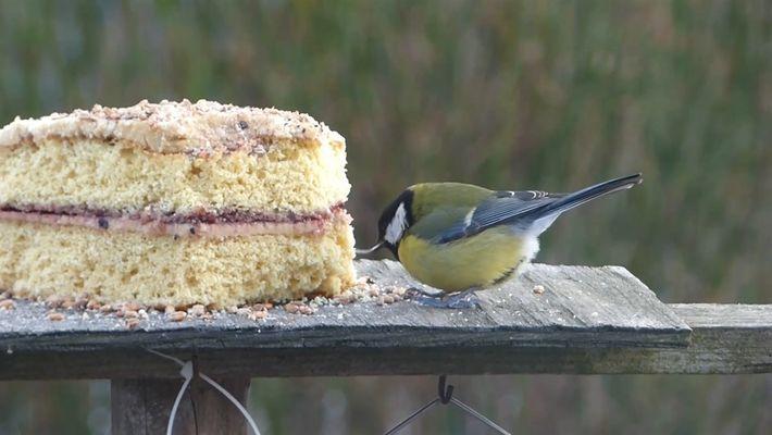Bico quebrado não impede pássaro de beliscar delicioso bolo de aniversário