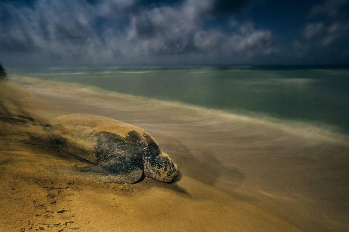 Uma tartaruga-de-couro deixa a praia onde botou seus ovos no Refúgio Nacional de Vida Selvagem de ...