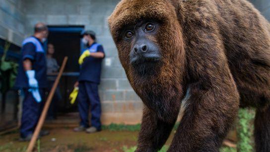 macaco bugio zoologico